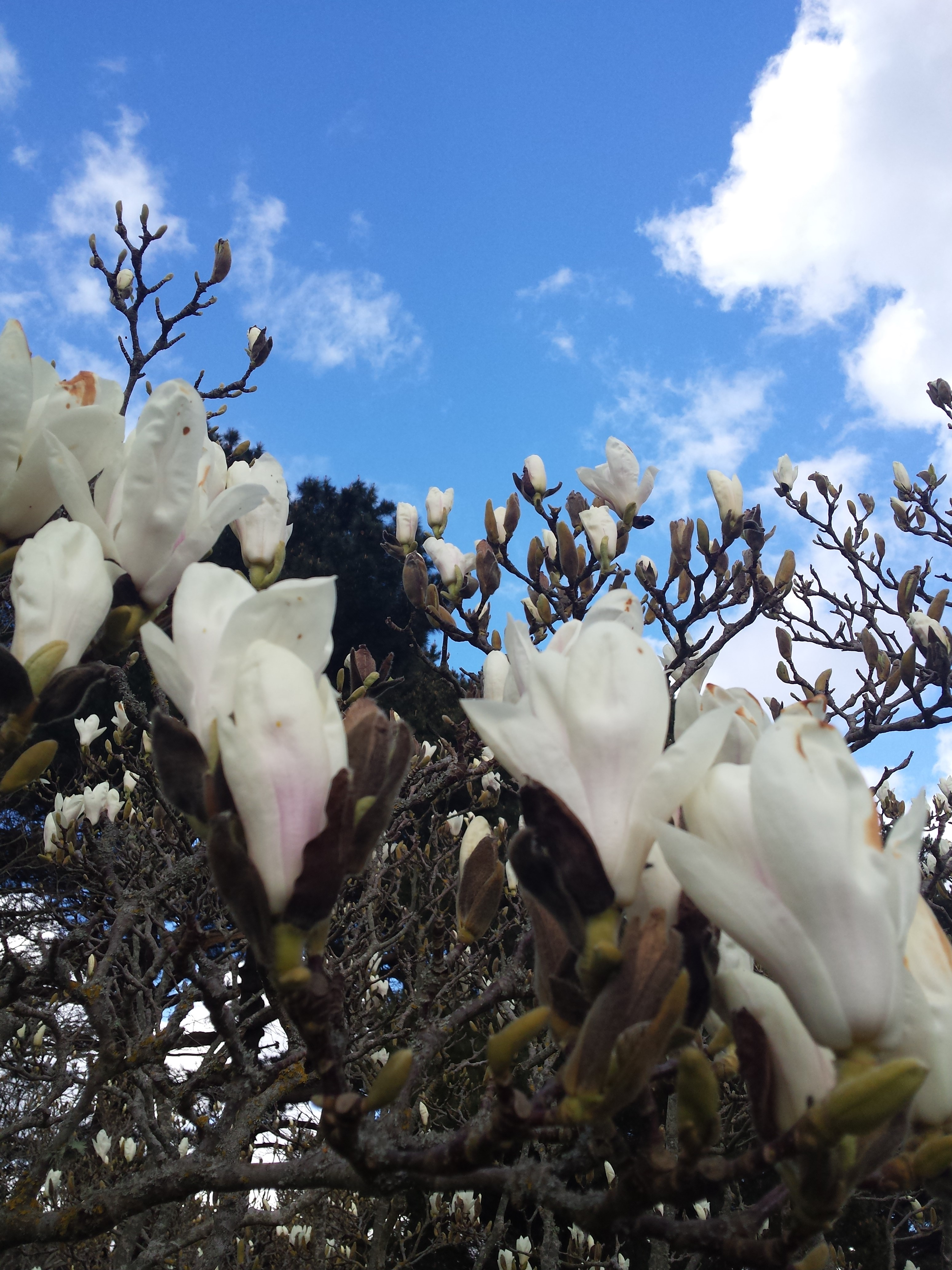 Magnolia lawn - Xfi