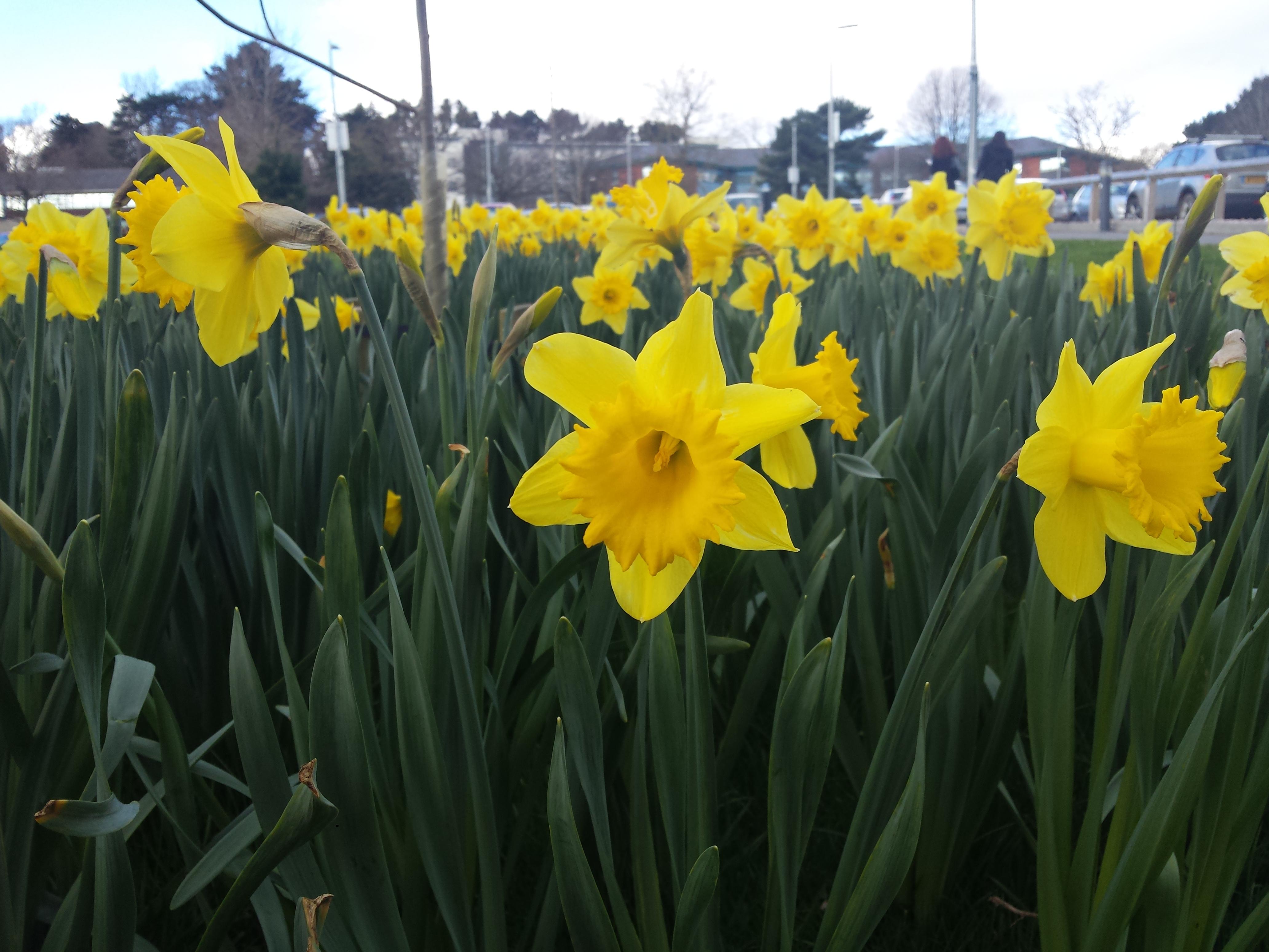 Daffodils - car park D