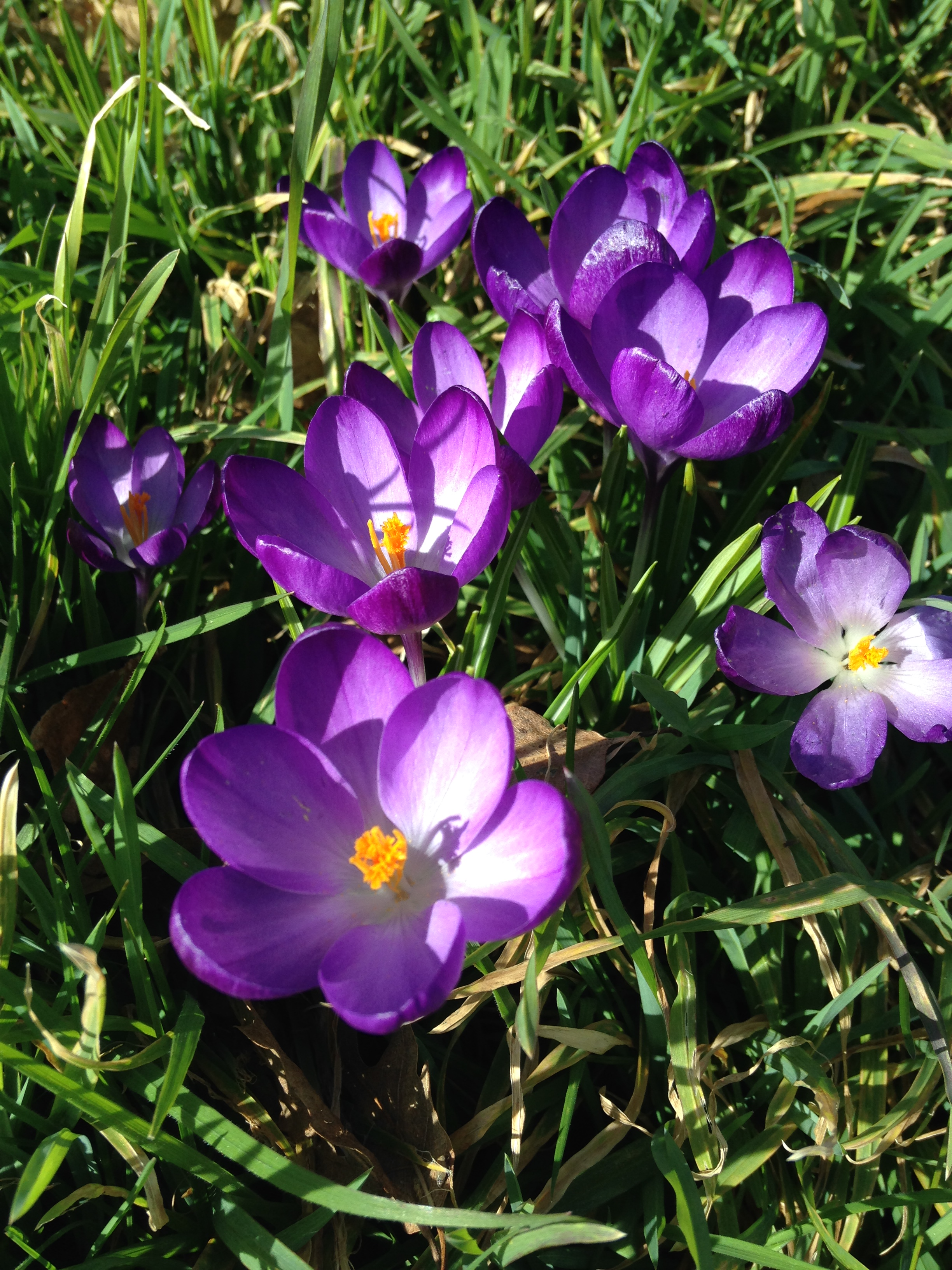 Crocuses on Washington Singer lawn