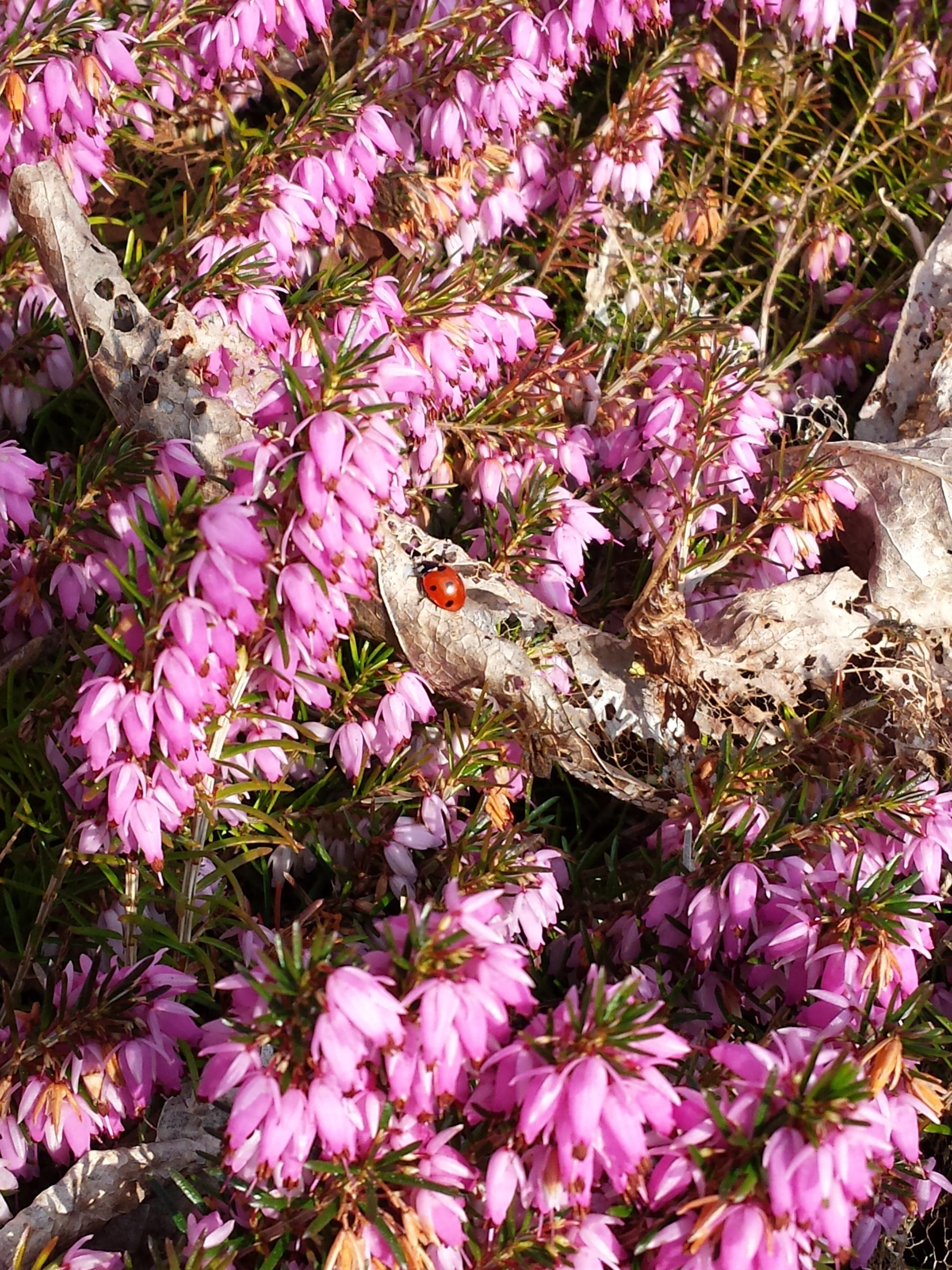 Ladybird in heather - Streatham Court