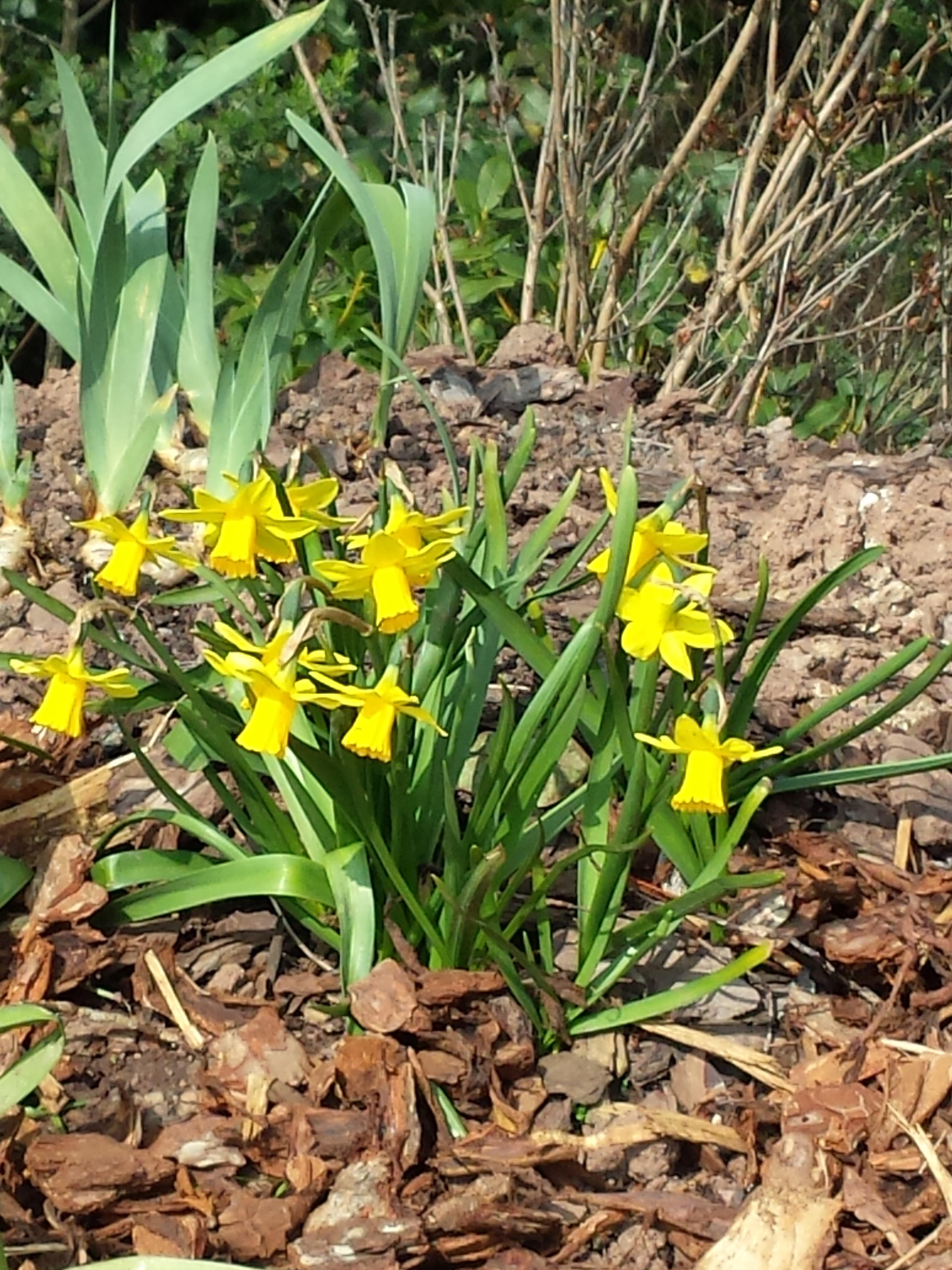 Narcissus tete-a-tete Stocker Road