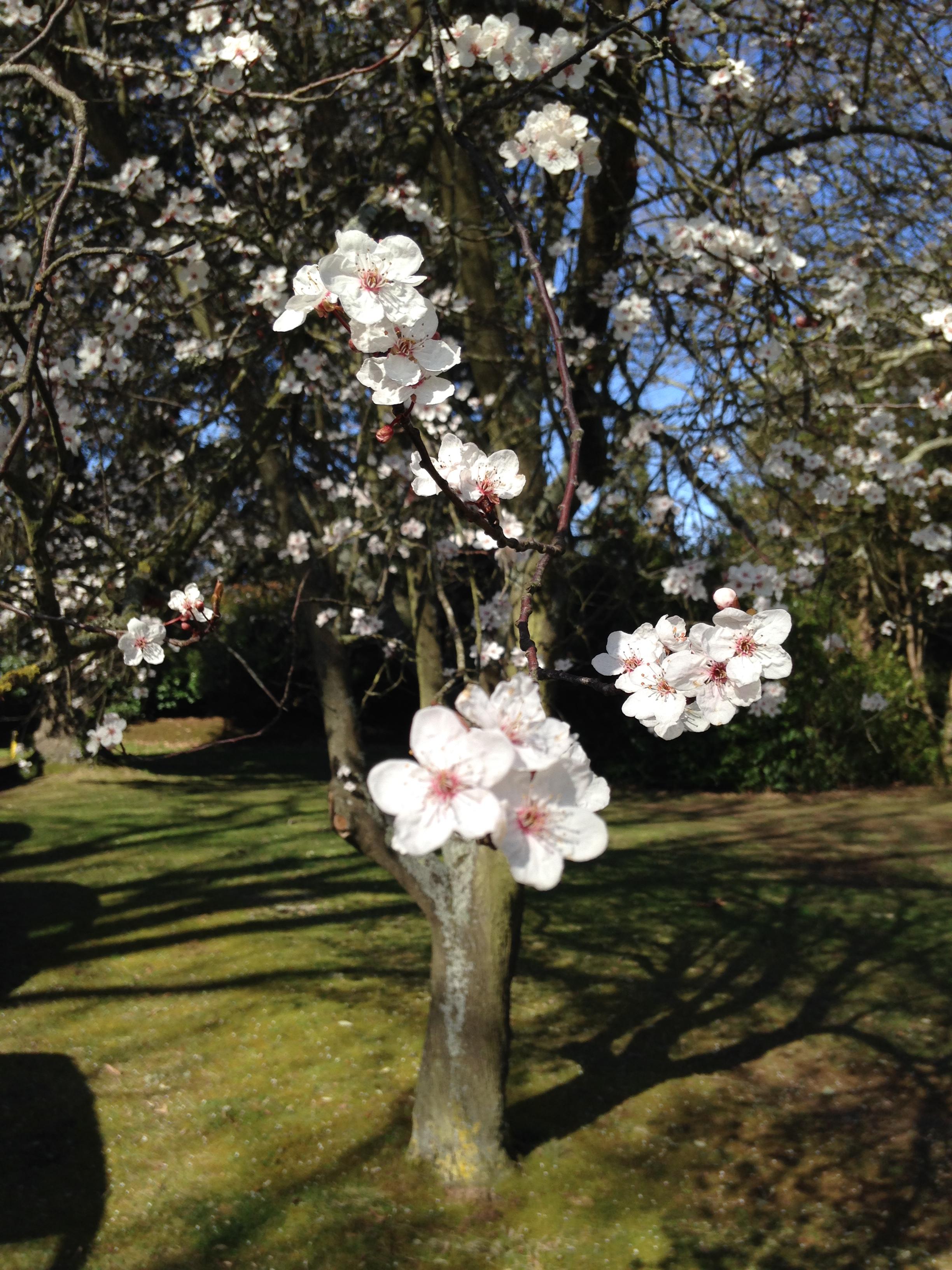 Cherry blossom near Reed Hall