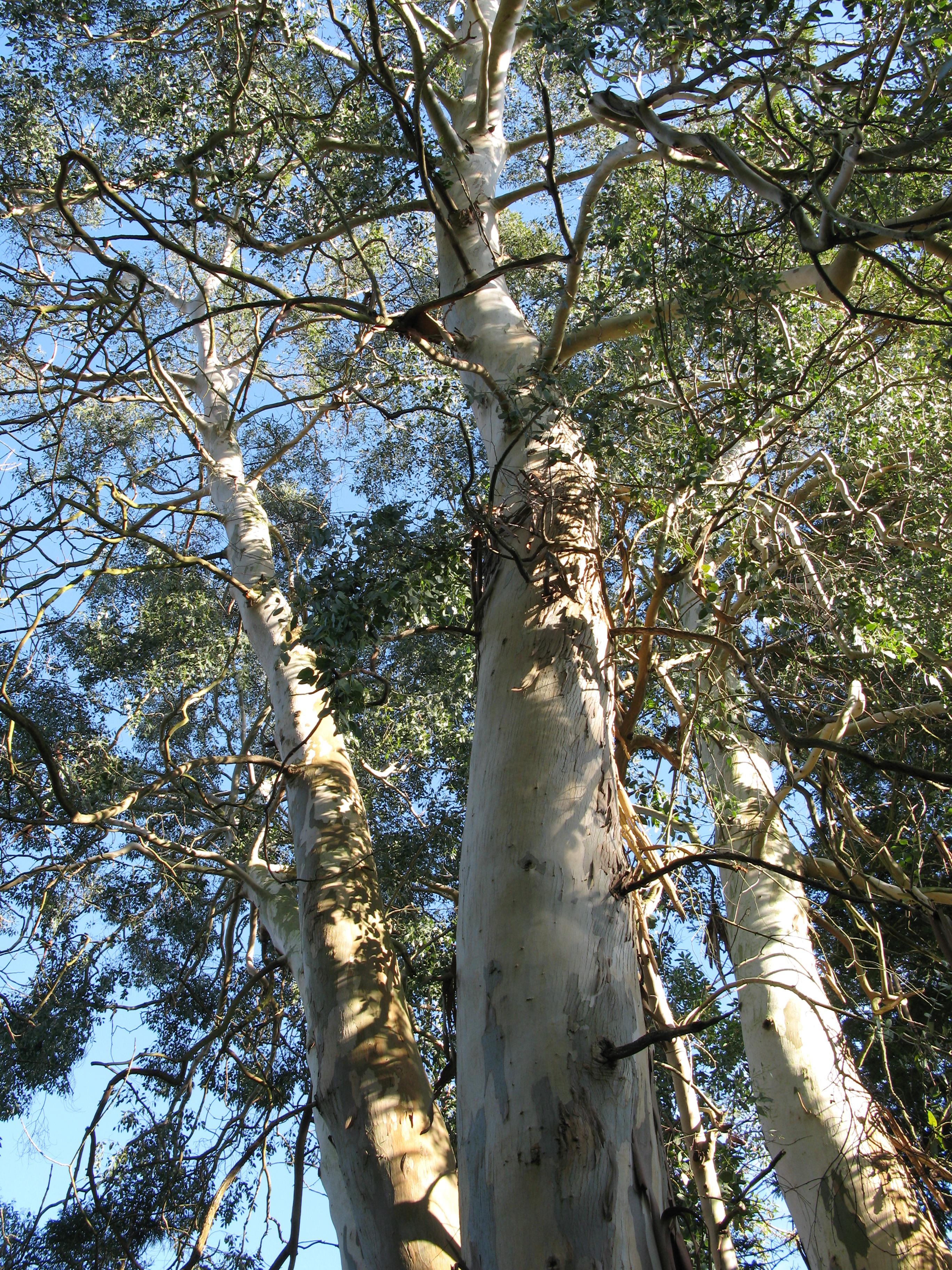 Eucalyptus in the Old Botanic Garden, Poole Gate