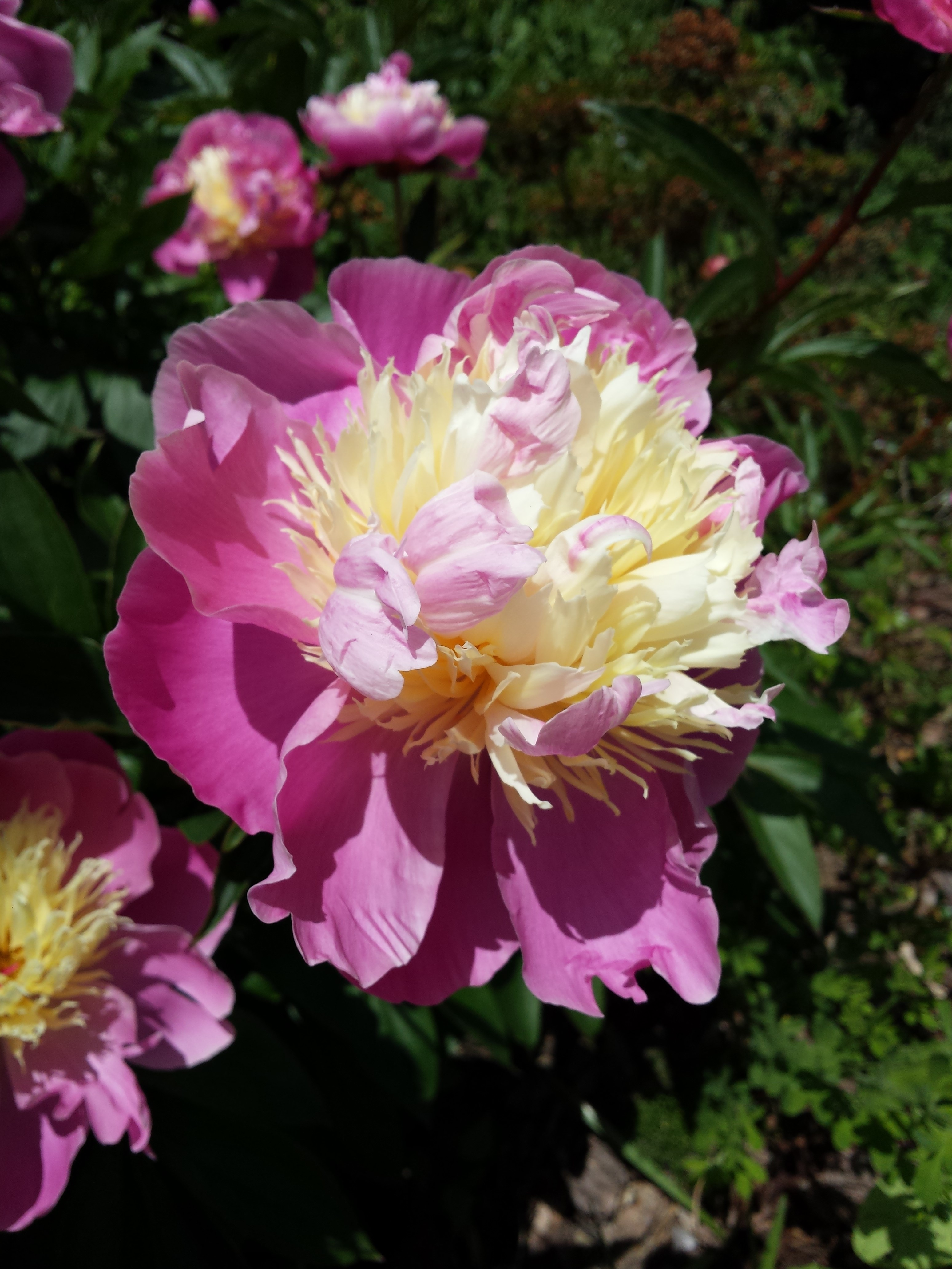 Paeonia lactiflora 'Bowl of Beauty' on Stocker Road, June '15