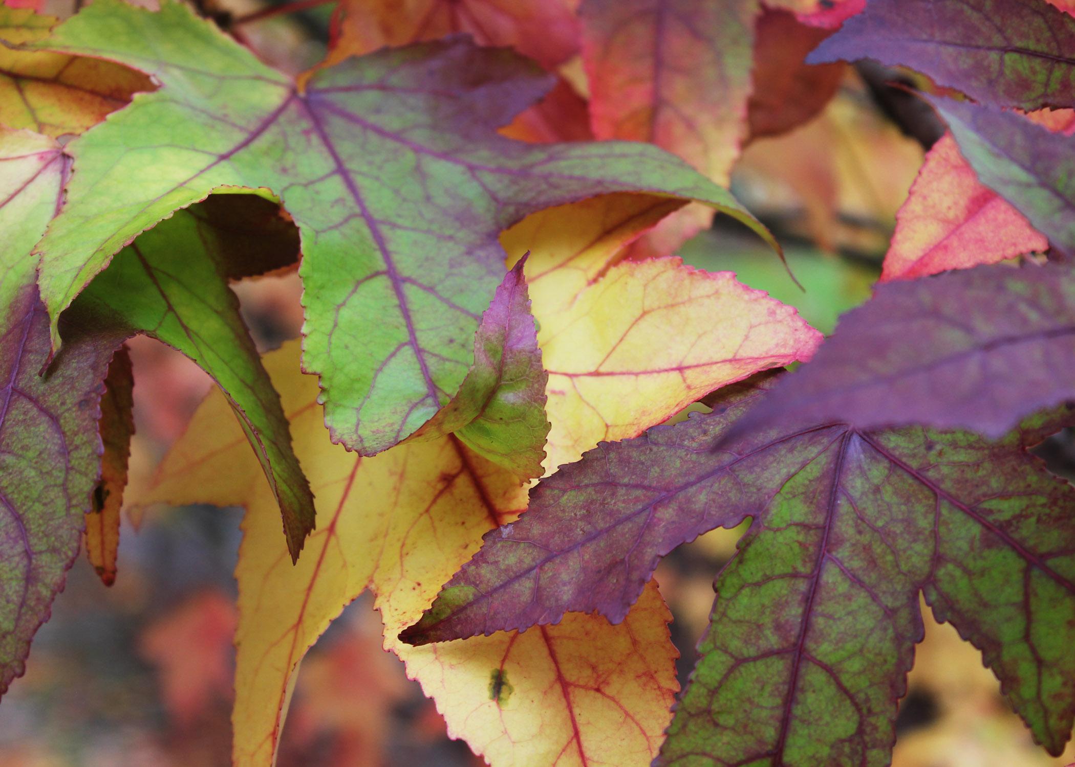Liquidambar leaves 1