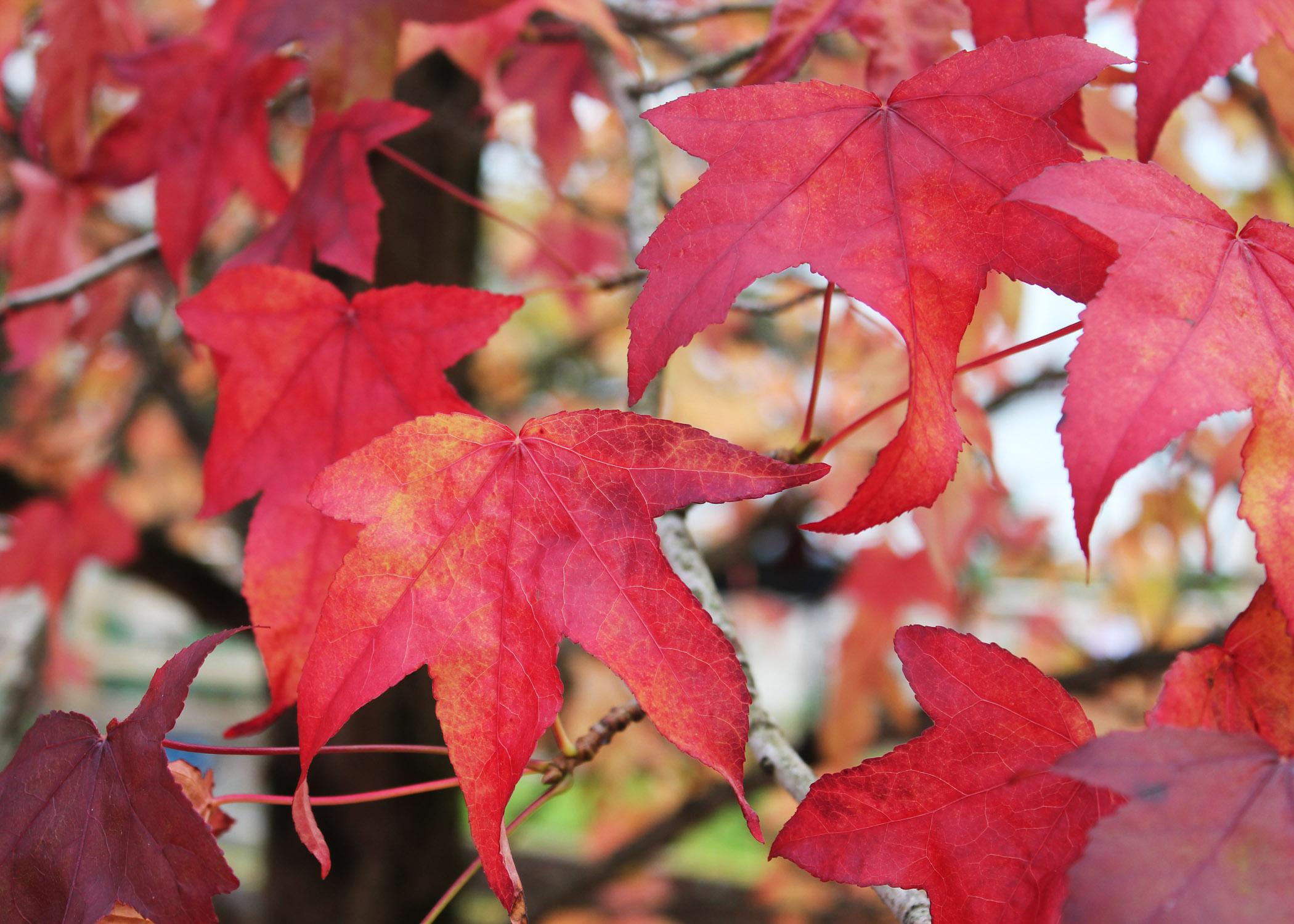 Liquidambar leaves 2