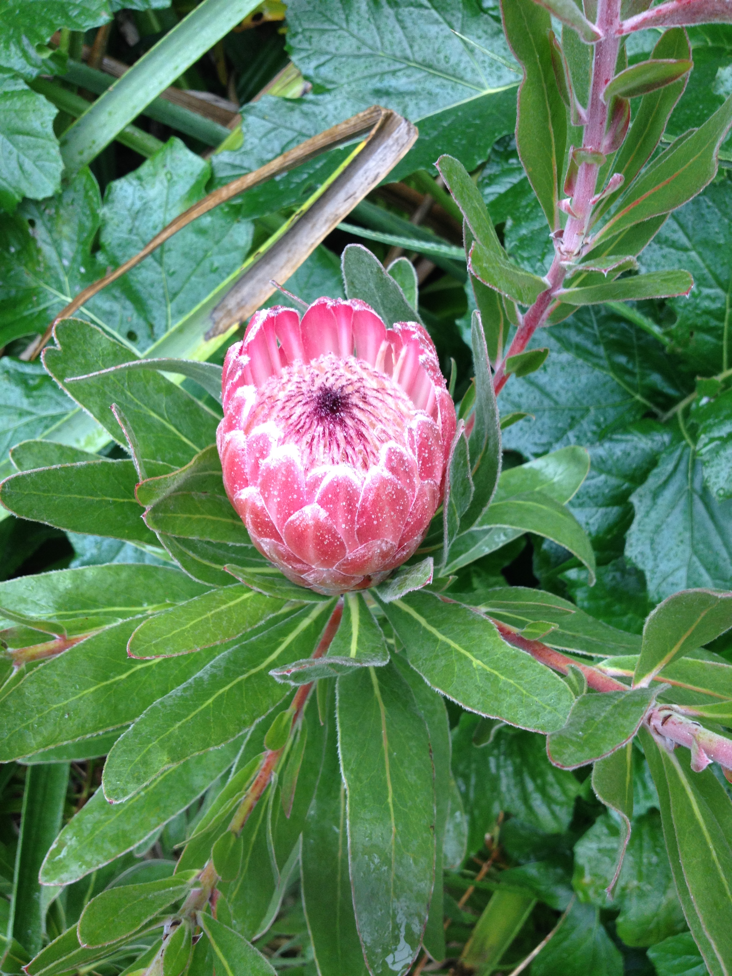 Protea Pink Ice In Flower On Streatham Campus Budding News