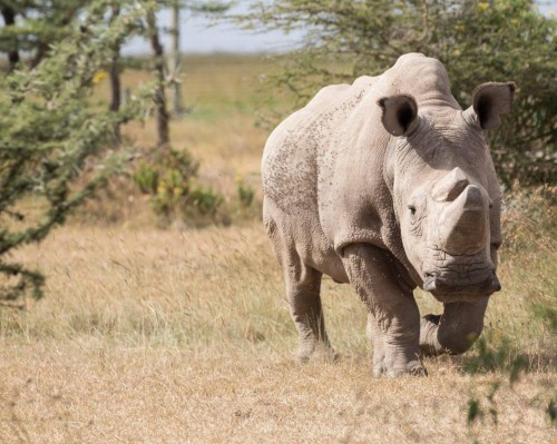 Sudan, the last remaining male Northern White Rhino