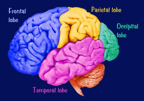 A diagram showing the four lobes of the cerebral cortex