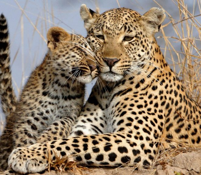 Modelling Morphogenesis: Beyond 'Just So' Stories of Leopard Spots